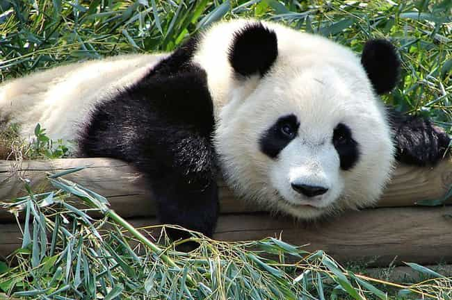 Giant Panda is listed (or ranked) 4 on the list Animals That People Mistakenly Think Are Endangered - But Actually Aren't