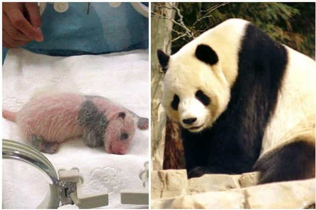 Giant Panda is listed (or ranked) 2 on the list 15 Pictures Of Animals As Babies Vs. When They're Fully Grown