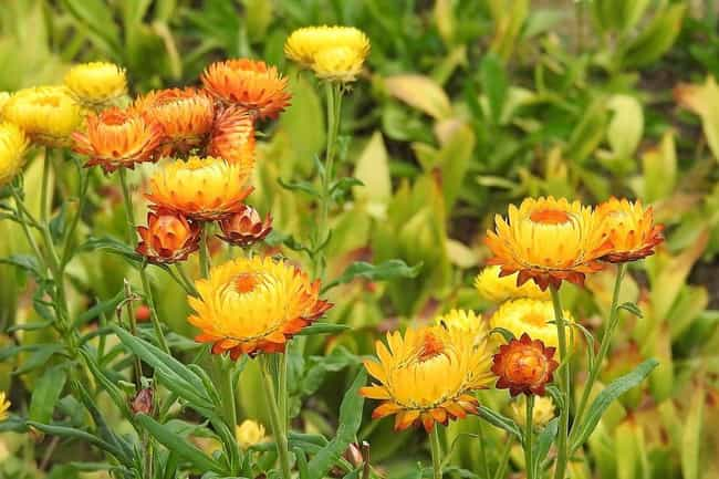 Helichrysum is listed (or ranked) 2 on the list The Best Essential Oils for Kidney Stones