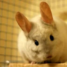Chinchilla is listed (or ranked) 14 on the list The Best Pets for Kids