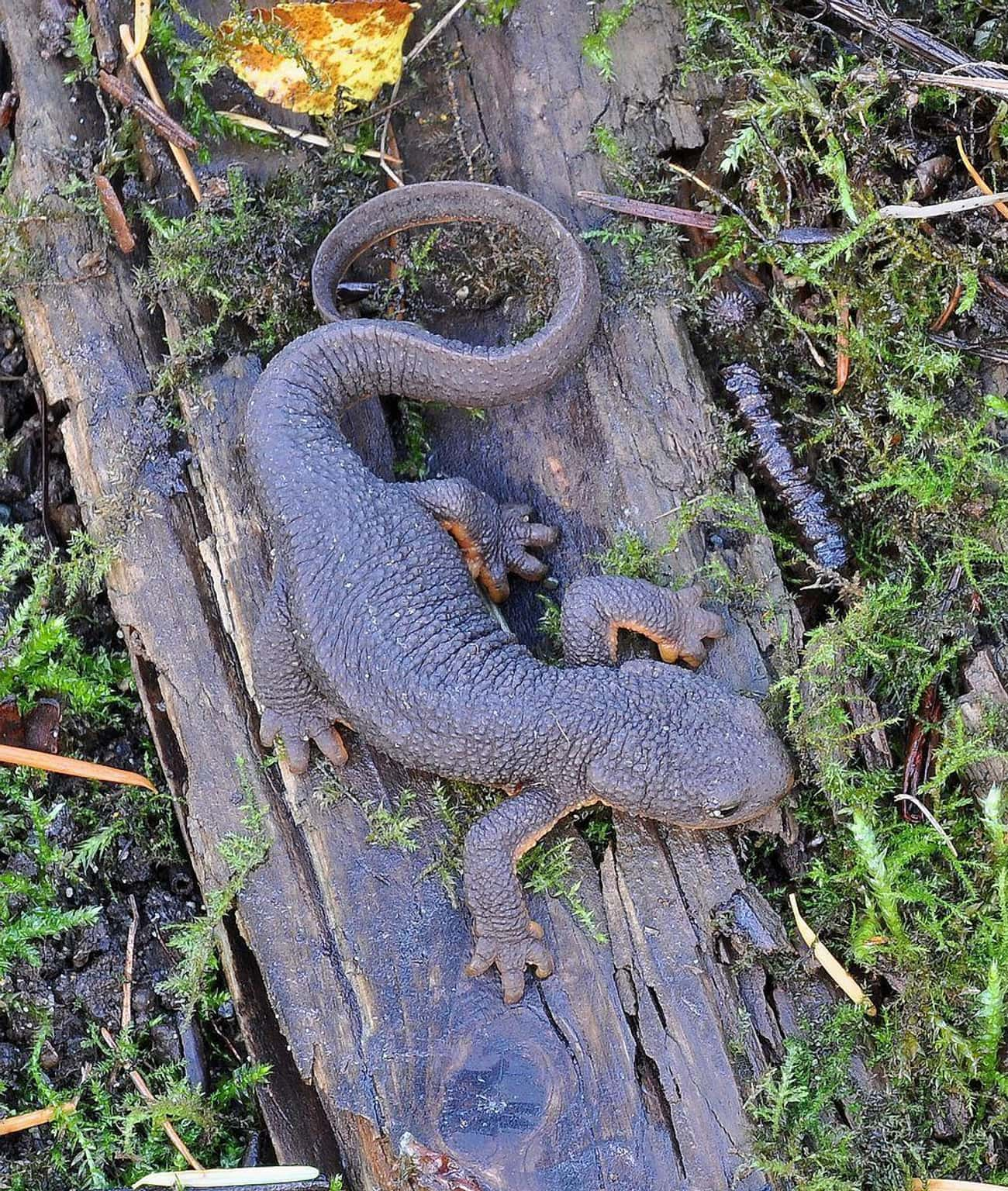 The Rough Skinned Newt Won&#39 is listed (or ranked) 1 on the list These Animals Can Survive Being Eaten Alive
