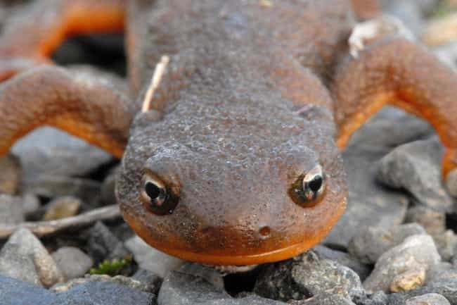 Newt is listed (or ranked) 1 on the list These Animals Can Survive Being Eaten Alive
