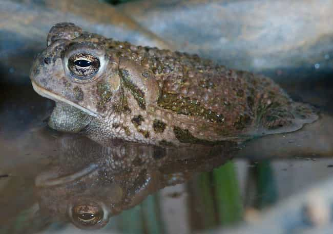 True toad is listed (or ranked) 3 on the list 12 Insane, Nightmare Creatures From Arizona You Never Want To Encounter