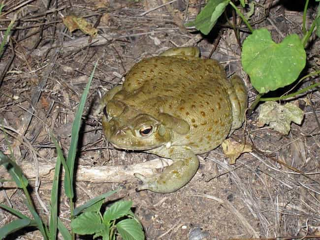 True toad is listed (or ranked) 3 on the list 12 Of The Most Nightmarish Creatures You Might Encounter In Arizona
