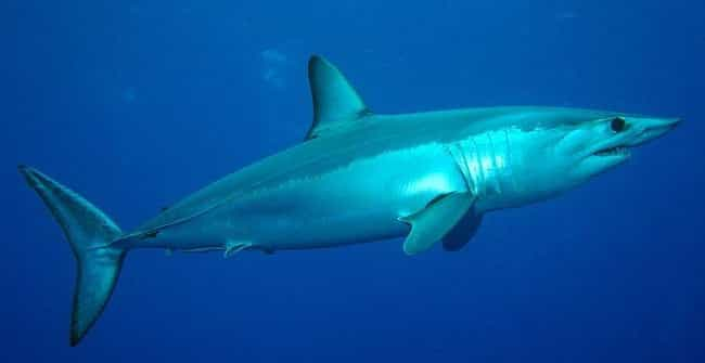Shortfin mako shark is listed (or ranked) 4 on the list The Scariest Types of Sharks in the World