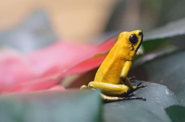 Poison dart frog is listed (or ranked) 24 on the list 28 Cute Animals That You Don't Want To Mess With