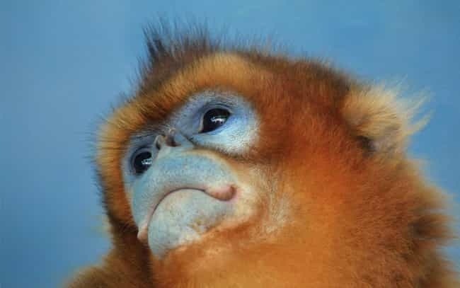 Snub-nosed monkey is listed (or ranked) 4 on the list 13 Of The Strangest-Looking Primates In Nature