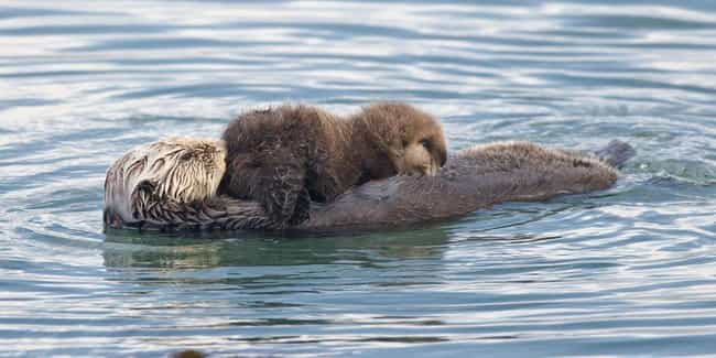 Sea Otter is listed (or ranked) 3 on the list These Animals Will Be Poached Into Extinction Within Your Lifetime