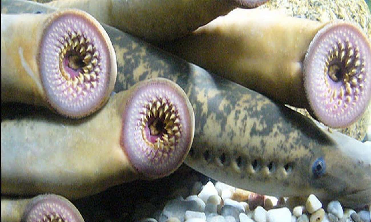 Lamprey is listed (or ranked) 3 on the list The Scariest Types of Fish in the World