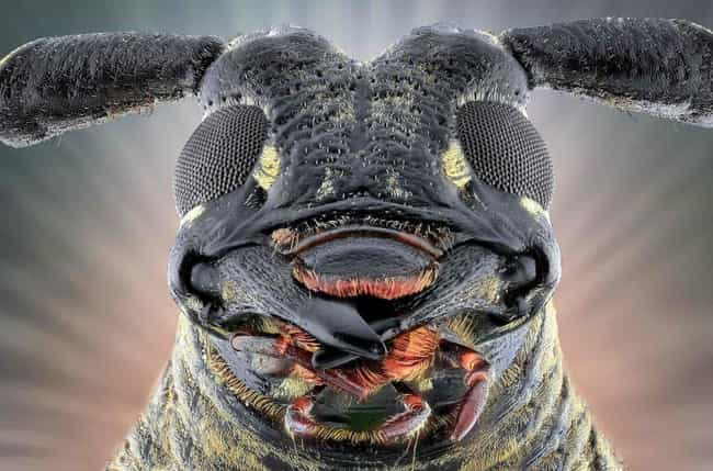 Longhorn beetle is listed (or ranked) 1 on the list 24 Unnerving, Close-Up Pictures Of Insect Faces