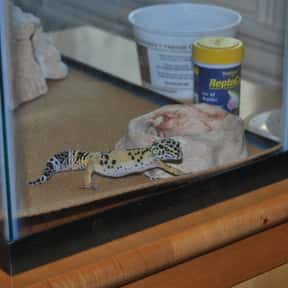 Leopard gecko is listed (or ranked) 17 on the list The Best Pets for Kids