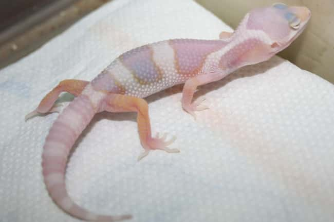 Leopard gecko is listed (or ranked) 34 on the list 38 Incredible Albino (and Leucistic) Animals