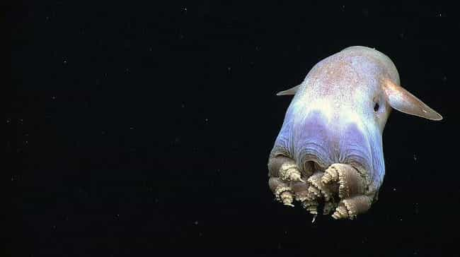 Grimpoteuthis is listed (or ranked) 4 on the list The Creepy Creatures Who Live In The Mariana Trench