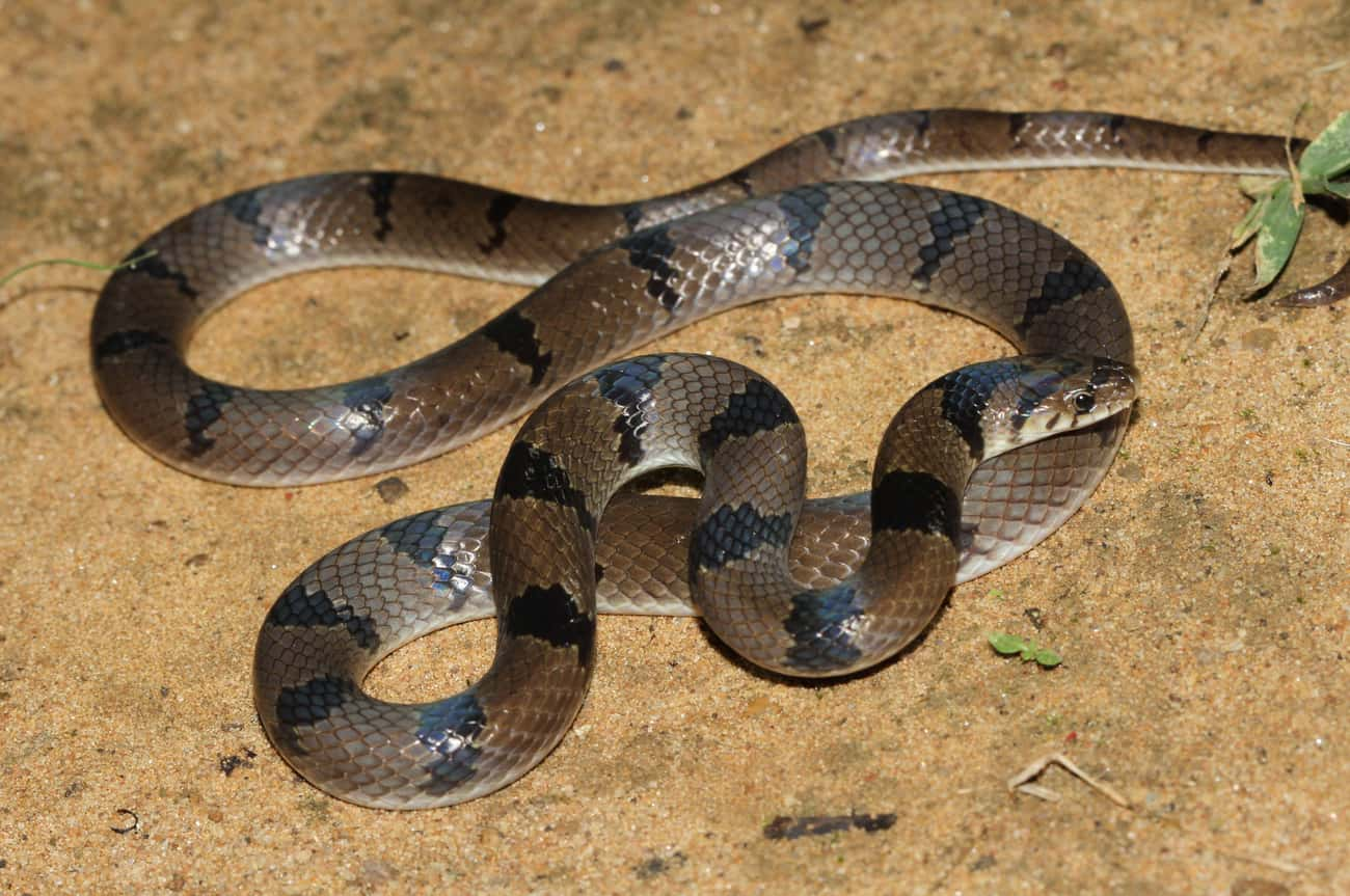 The Common Krait Constantly At is listed (or ranked) 3 on the list 11 Nightmare Creatures You Never Want To Encounter In India