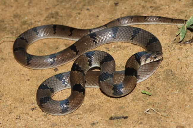 Common Krait is listed (or ranked) 3 on the list 11 Nightmare Creatures You Never Want To Encounter In India