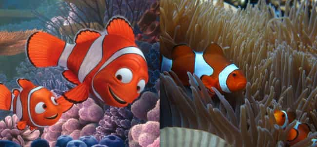 Ocellaris Clownfish is listed (or ranked) 2 on the list What the Species in Finding Dory Look Like in Real Life