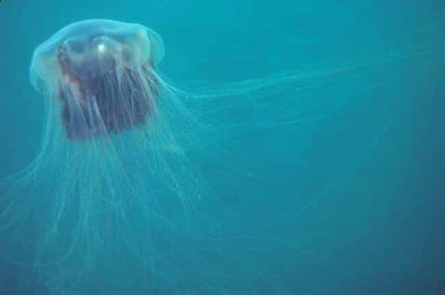 Lion's mane jellyfish is listed (or ranked) 3 on the list The Scariest Creatures Currently Lurking In The Deep Sea, Ranked By How Horrifying They Are