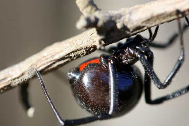 Widow spider is listed (or ranked) 4 on the list 14 Of The Deadliest Animals In Florida