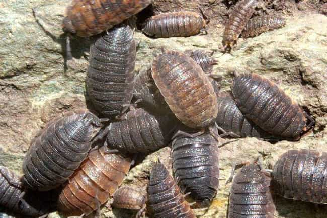 Woodlouse is listed (or ranked) 6 on the list Here's What Different Bugs Actually Taste Like