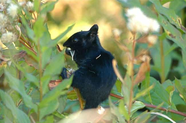 Golden-mantled Ground Squirrel is listed (or ranked) 3 on the list 19 Photos Of Melanistic (All Black) Animals That'll Leave You In Awe Of Mother Nature