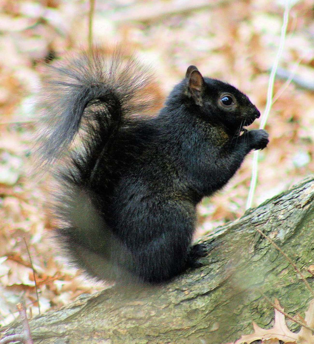 Golden-Mantled Ground Squirrel is listed (or ranked) 4 on the list 17 Photos Of Melanistic (All Black) Animals That'll Leave You In Awe Of Mother Nature