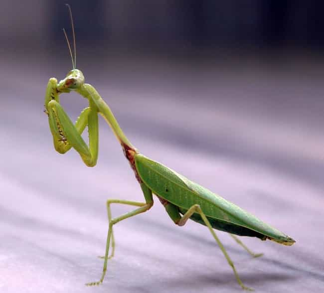Mantis is listed (or ranked) 3 on the list 10 Animals Who Die Immediately (Or Close to) After Sex