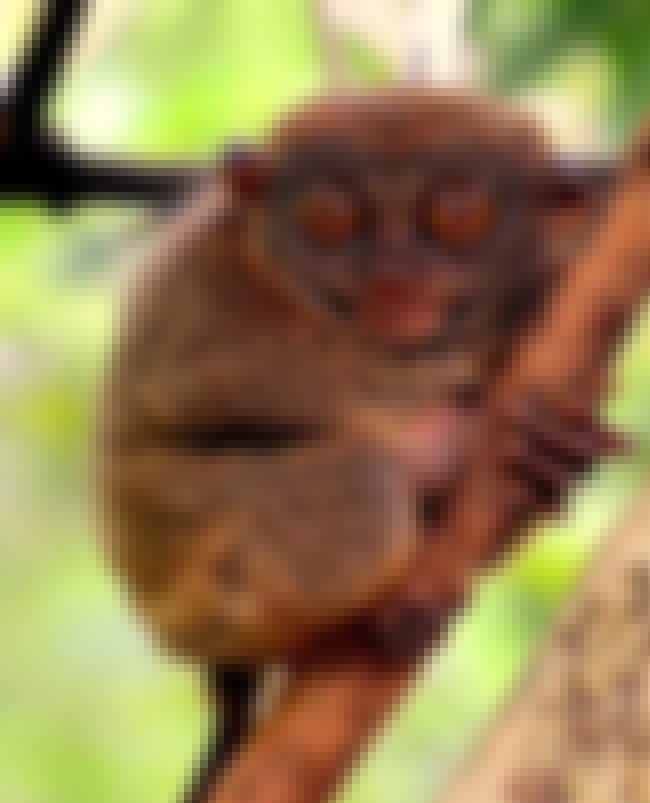 Tarsier is listed (or ranked) 13 on the list 28 Cute Animals That You Don't Want To Mess With