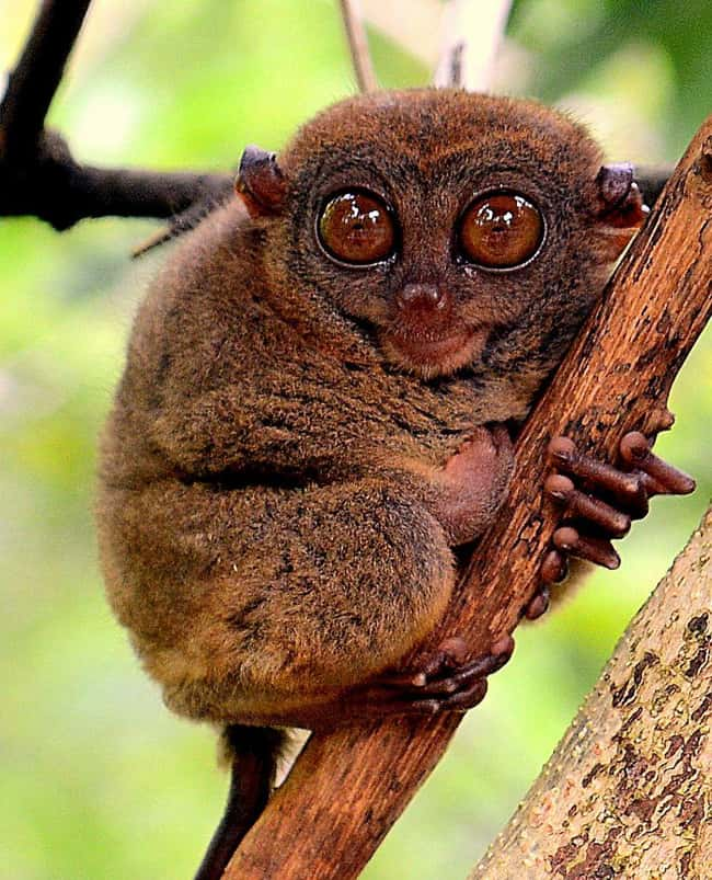 Tarsier is listed (or ranked) 15 on the list 28 Cute Animals That You Don't Want To Mess With