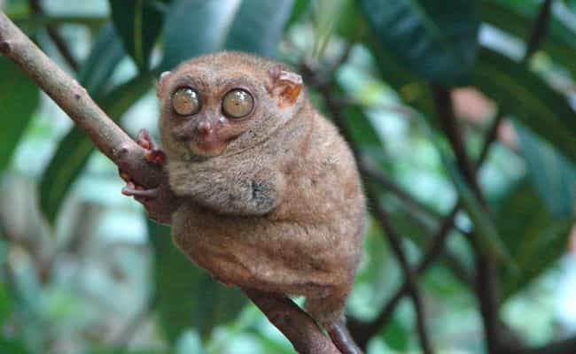Tarsier is listed (or ranked) 4 on the list 13 Of The Strangest-Looking Primates In Nature