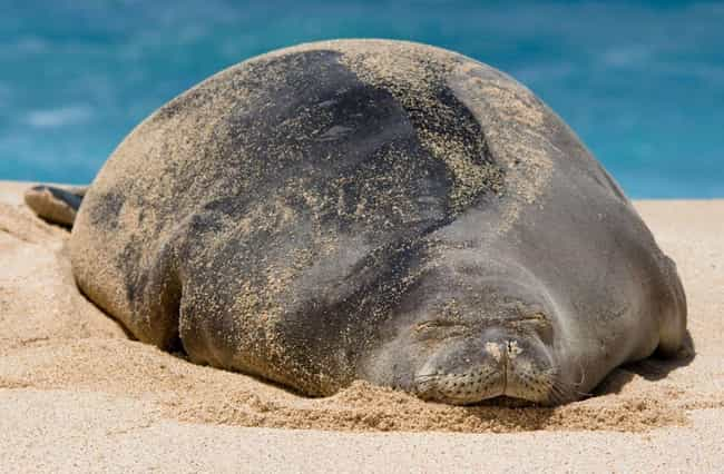 Hawaiian Monk Seal is listed (or ranked) 4 on the list Here's What 21 Different Animal Species Look Like Pregnant