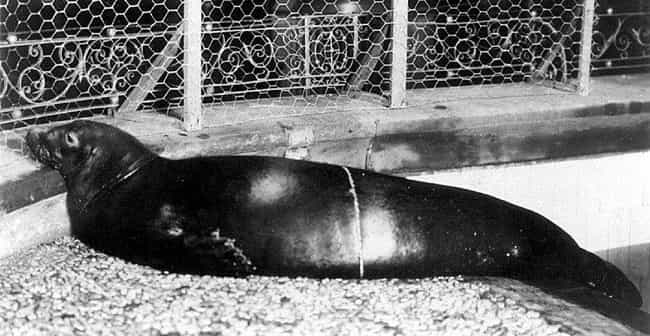 Caribbean Monk Seal is listed (or ranked) 4 on the list Animals American Settlers Would Have Seen, But You Never Will