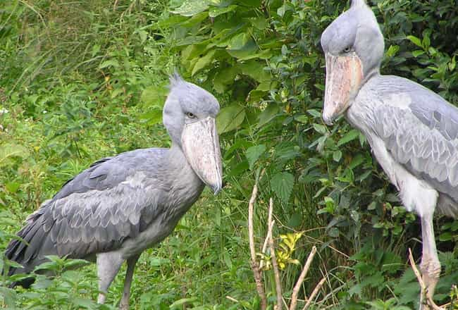 Shoebill is listed (or ranked) 1 on the list 17 Of The Weirdest Bird Beaks Found In Nature