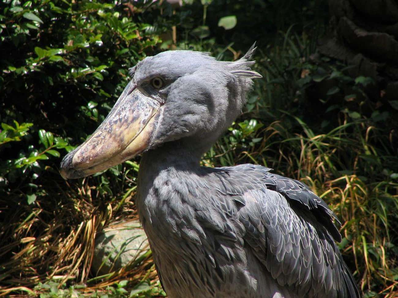 The Shoebill's Beak Could  is listed (or ranked) 3 on the list The Weirdest And Scariest Bird Beaks