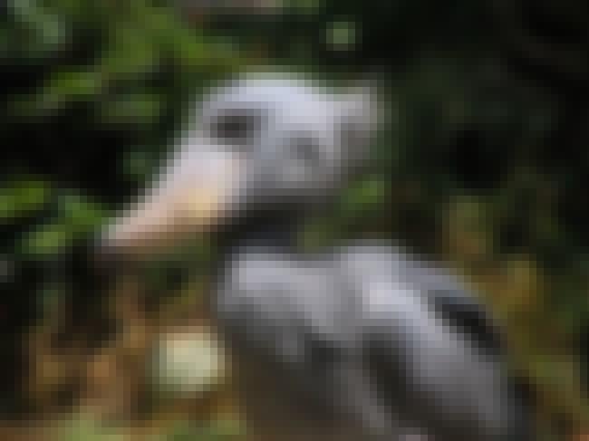 Shoebill is listed (or ranked) 4 on the list The Weirdest And Scariest Bird Beaks