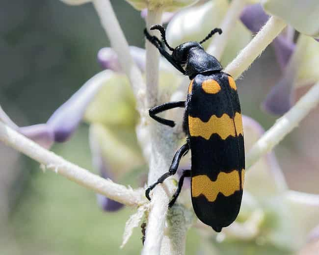 Blister beetle is listed (or ranked) 4 on the list 12 Of The Most Nightmarish Creatures You Might Encounter In Arizona