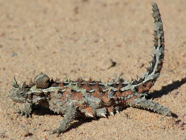 Thorny Devil is listed (or ranked) 3 on the list 25+ Desert Creatures That Have Adapted To Extreme Conditions