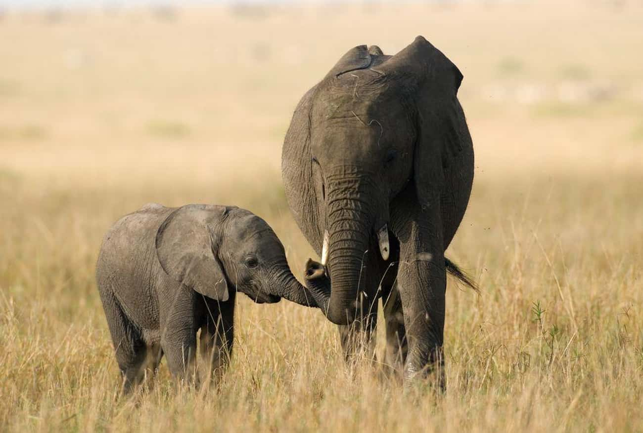 Elephant and Calf is listed (or ranked) 4 on the list The Most Adorable Animal Parenting Moments
