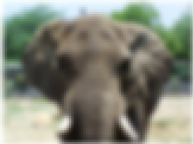 African Bush Elephant is listed (or ranked) 7 on the list The Strongest Animals in the World