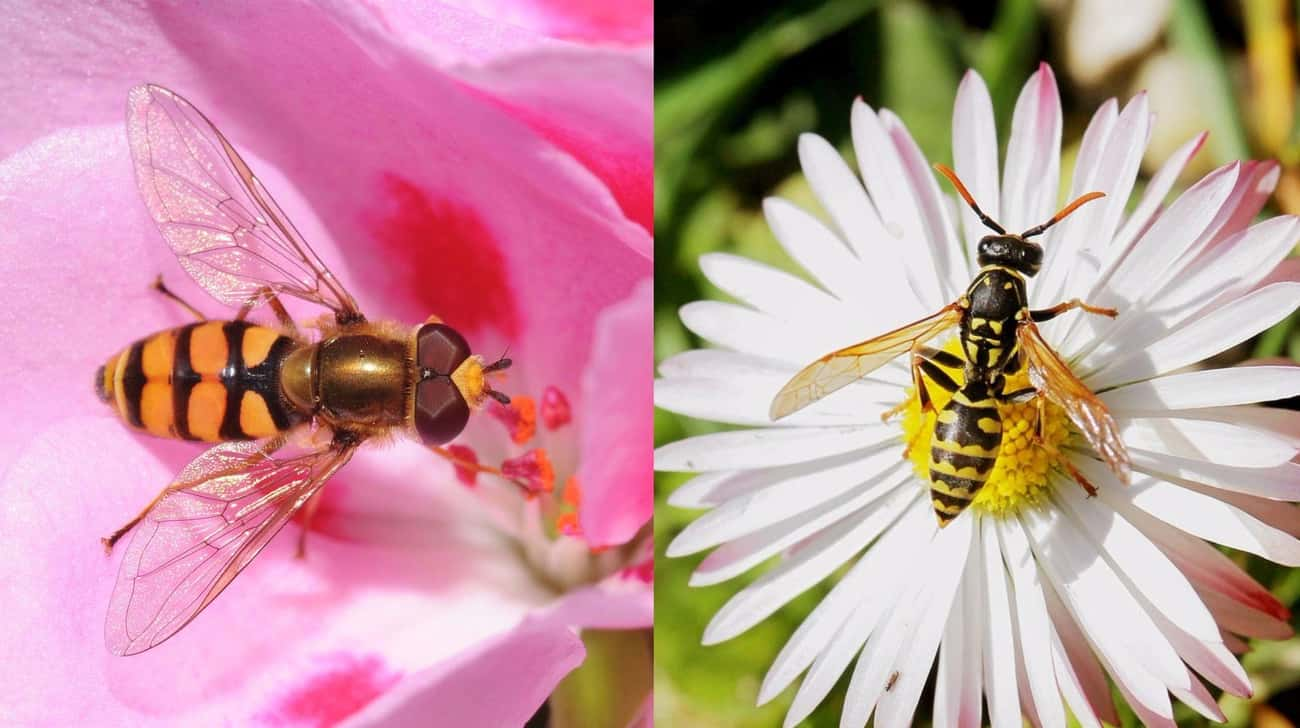 Hoverflies Look Like Wasps, Bu is listed (or ranked) 3 on the list Animal Imposters: 15 Creatures That Fake It To Make It