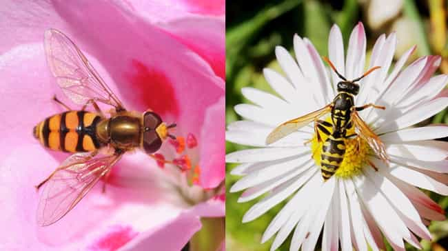 Hoverfly is listed (or ranked) 3 on the list Animal Imposters: 15 Creatures That Fake It To Make It