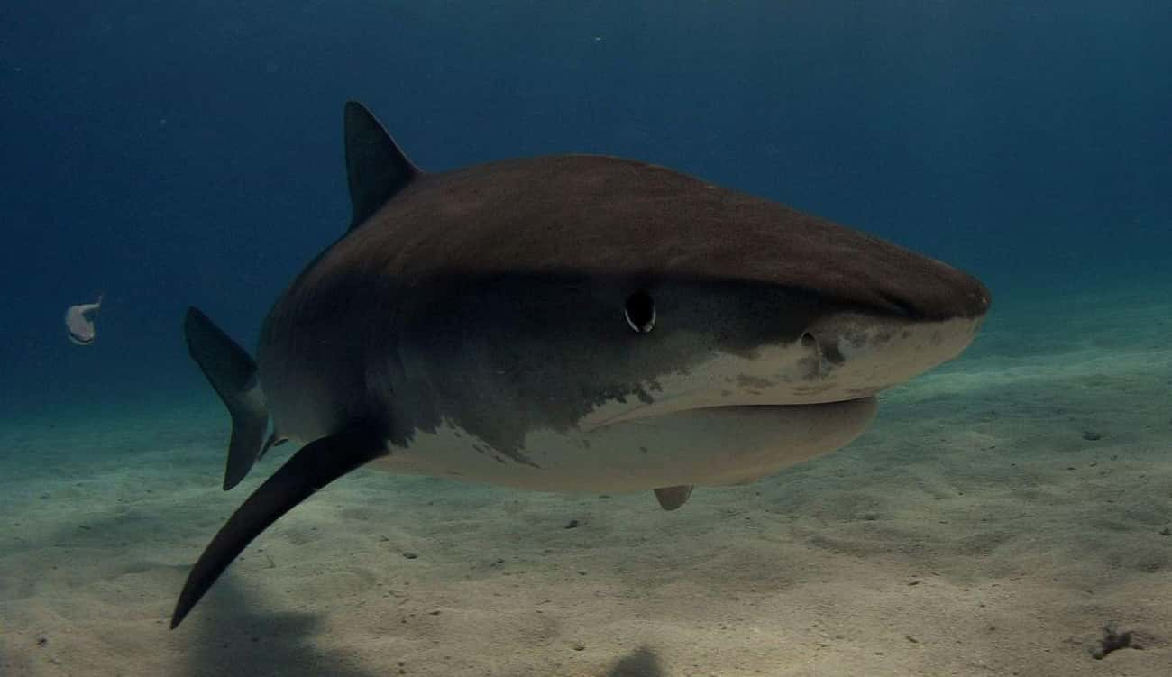 Tiger Shark is listed (or ranked) 1 on the list The Scariest Types of Sharks in the World