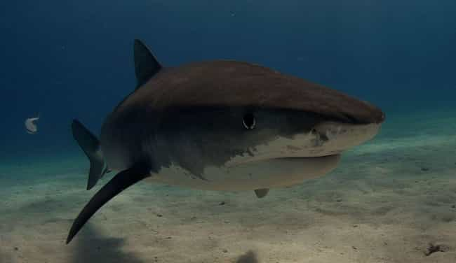 Tiger shark is listed (or ranked) 3 on the list The Scariest Types of Sharks in the World