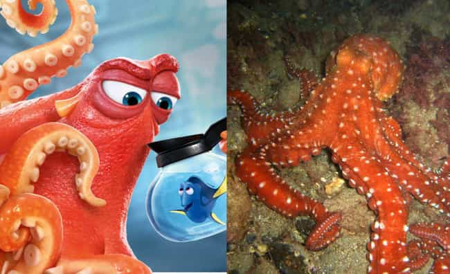 East Pacific Red Octopus is listed (or ranked) 3 on the list What the Species in Finding Dory Look Like in Real Life