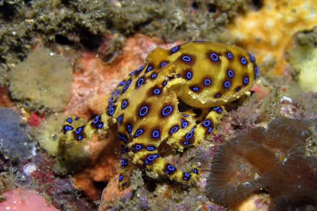 Blue-ringed octopus is listed (or ranked) 4 on the list The 11 Most Poisonous Animals In The World Ranked By How Quickly They Kill You