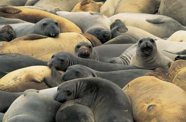 Elephant seal is listed (or ranked) 3 on the list 15 Animals Who Have Insanely Violent Sex