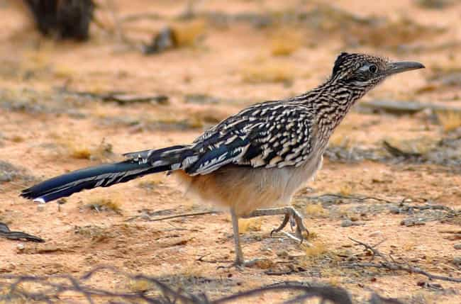 Lesser Roadrunner is listed (or ranked) 4 on the list 25+ Desert Creatures That Have Adapted To Extreme Conditions