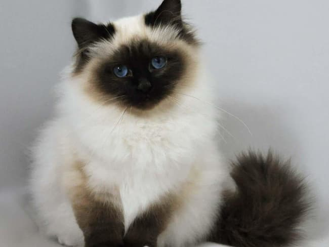 Birman Is Listed Or Ranked 5 On The List The Best Long Haired Cat