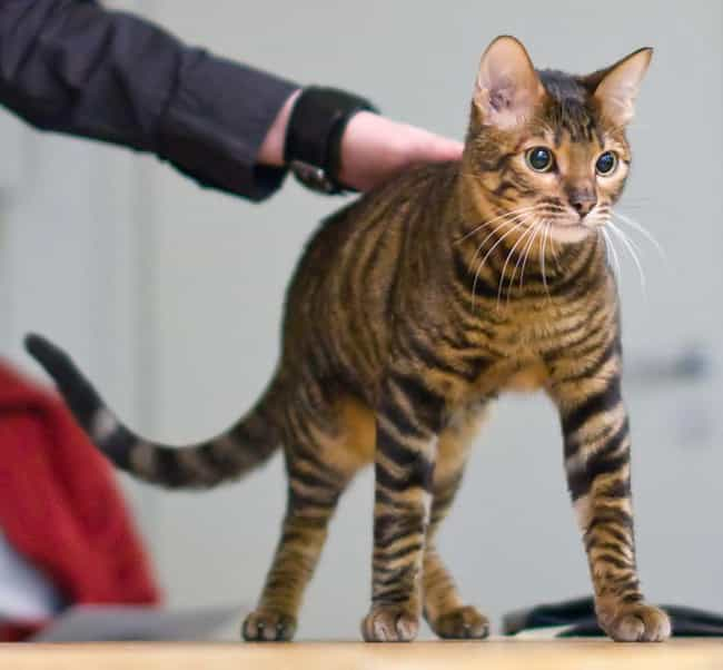 Toyger is listed (or ranked) 3 on the list The Most Adorable Hybrid Cats