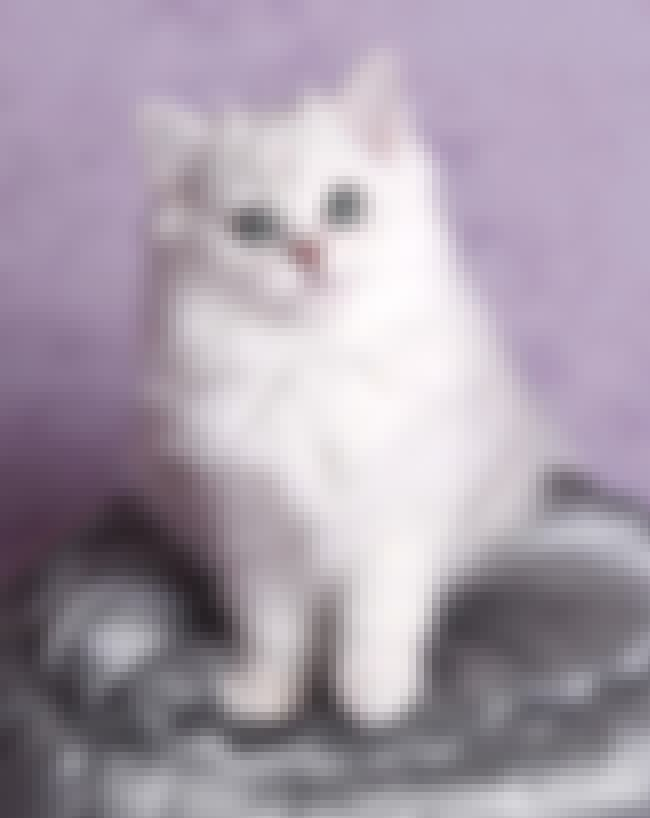 Burmilla is listed (or ranked) 3 on the list The Most Adorable Hybrid Cats