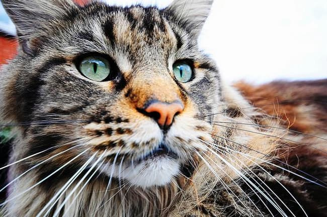 Maine Coon Is Listed Or Ranked 6 On The List The Best Most
